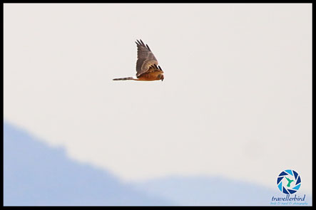 Juvenile Montagu's Harrier