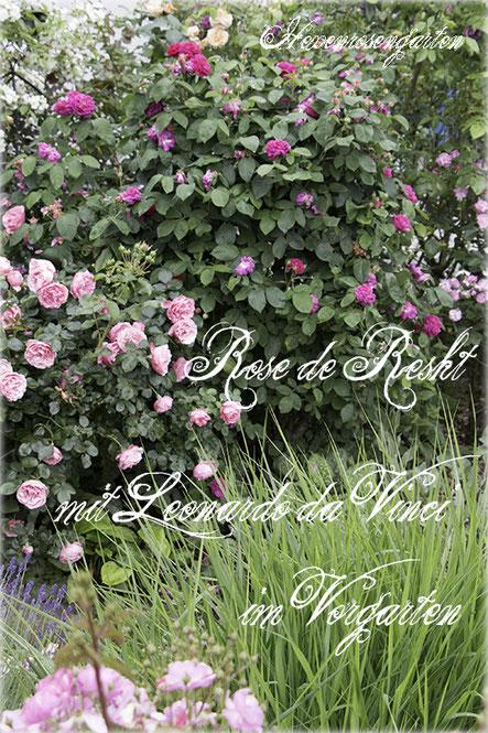 Rosen Hexenrosengarten Rosenblog Duftrosen Damaszenerrose Rose de Resht Leonardo da Vinci