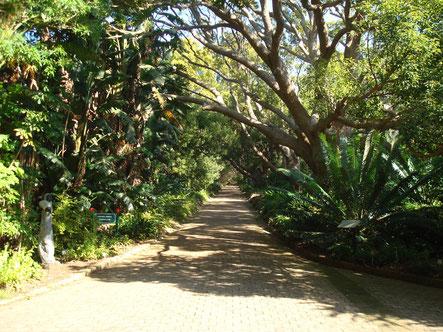 Allée des Camphriers - Parc Botanique de Kirstenbosch - Cape Town