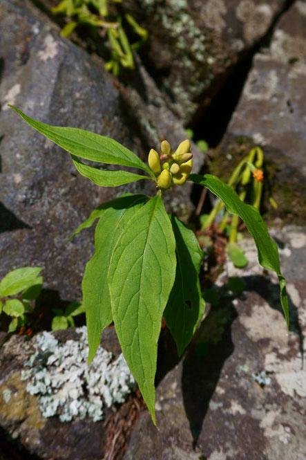 カキノハグサ (柿の葉草) ヒメハギ科  葉が細長いね...