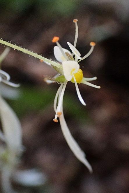 ジンジソウの花の側面
