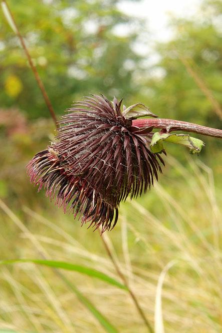 オヤマボクチ  2006.09.17 群馬県 野反湖