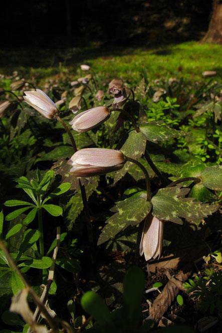 ユキワリイチゲ  花を閉じてしまっている