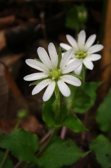 ミヤマハコベ (深山繁縷) ナデシコ科 ハコベ属