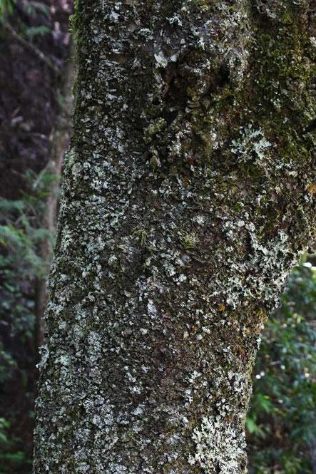 クモラン (蜘蛛蘭) ラン科 クモラン属 中心付近にいます。見えますか?