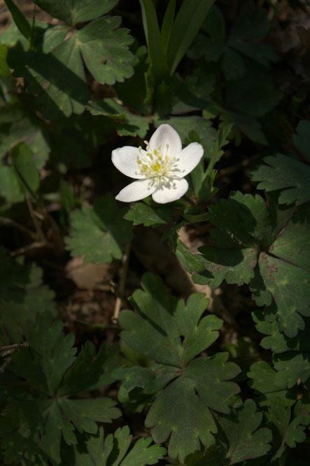ニリンソウ (二輪草) キンポウゲ科 イチリンソウ属