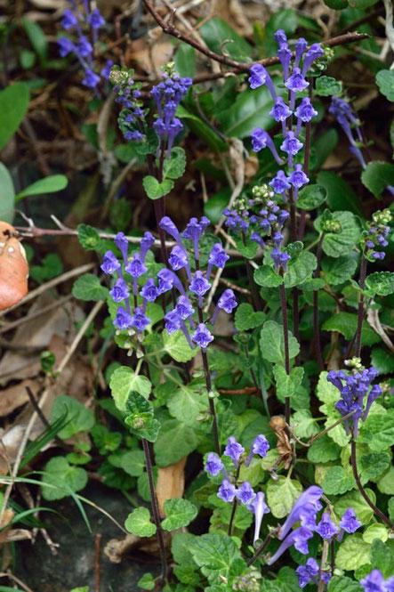 タツナミソウ (立浪草) シソ科 タツナミソウ属  たくさん咲いていた