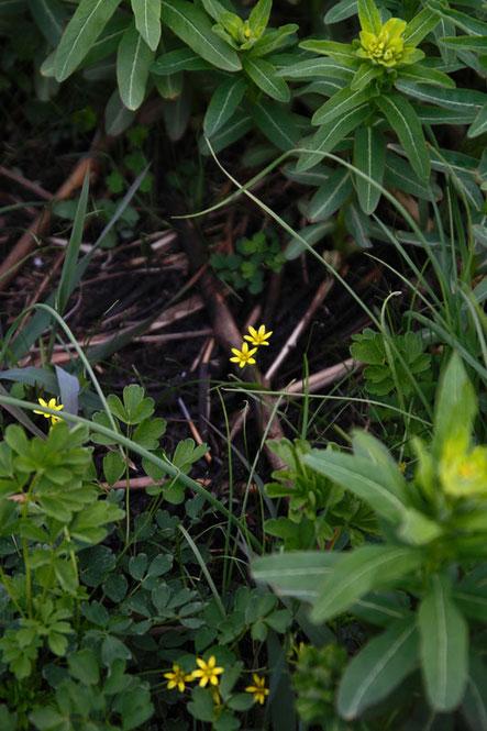 ノウルシの大群の中 頑張って咲くヒメアマナ
