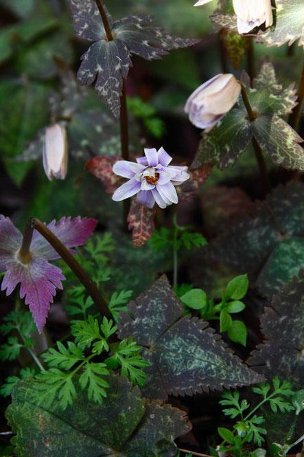 ユキワリイチゲ  やっと半開状態になった花が数個見つかりました