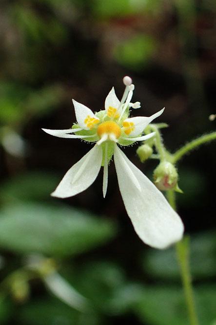 ハルユキノシタの花は下の2弁が大きく、上の3弁には黄色の紋があります