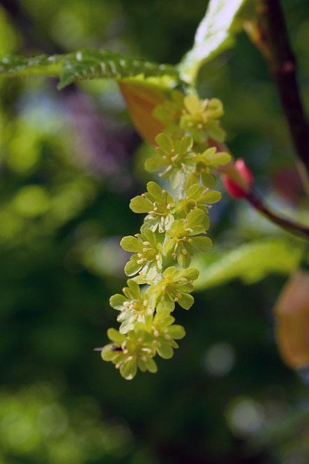ナゾの木の花。 なんだろう? 木の花は苦手。
