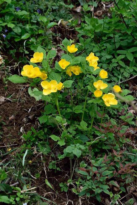 ヤマブキソウ (山吹草) ケシ科 ヤマブキソウ属  花弁は4個