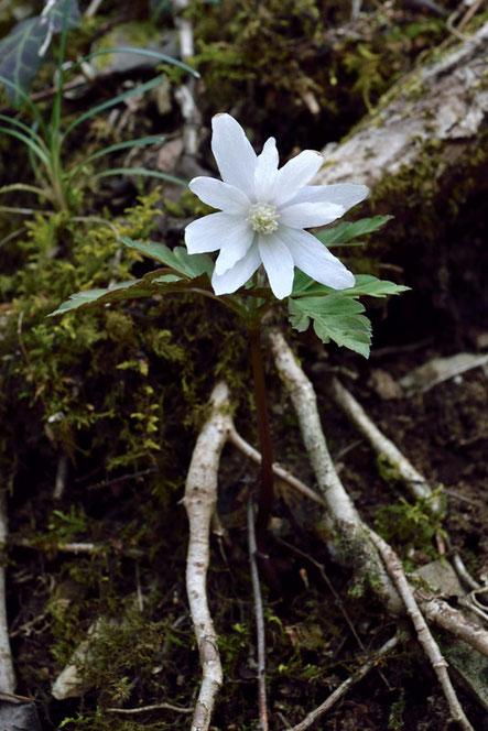 キクザキイチゲ (菊咲一華) キンポウゲ科 イチリンソウ属