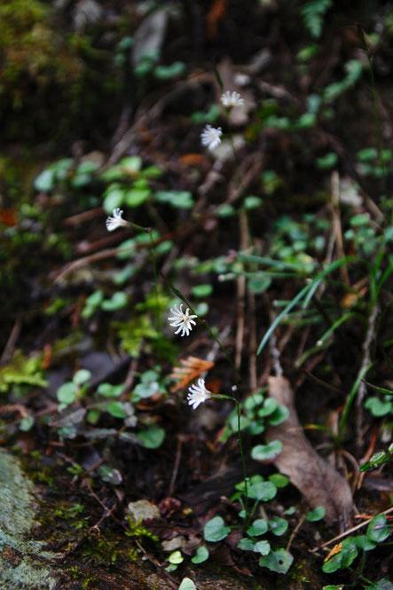 キッコウハグマ  ここでは閉鎖花は少なく、開花している花が多かった