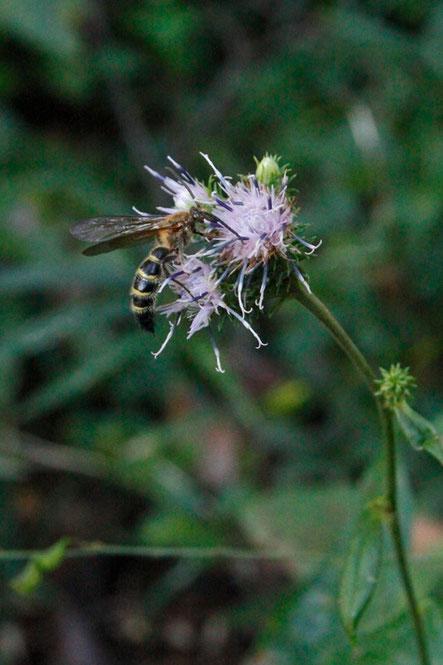 タカオヒゴタイの花のアップを撮ろうとしたら、ハチがやってきた。