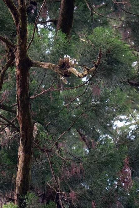 大木についたセッコク。 せっこく見れたが、遠すぎる!