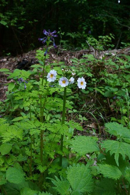 クリンソウ (九輪草) サクラソウ科 まだ咲き始めでした