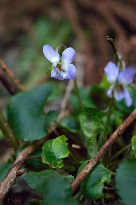 アオイスミレ (葵菫)  咲き始めでまだ花弁を展開しきれていない