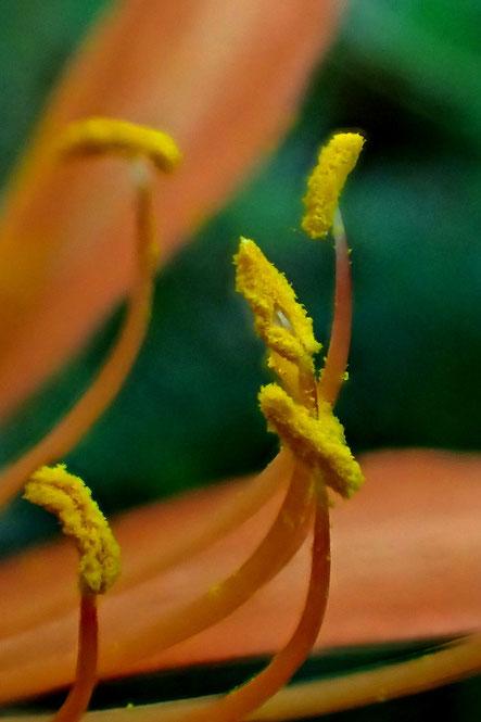 キツネノカミソリ 葯は裂開し花粉が出ていました