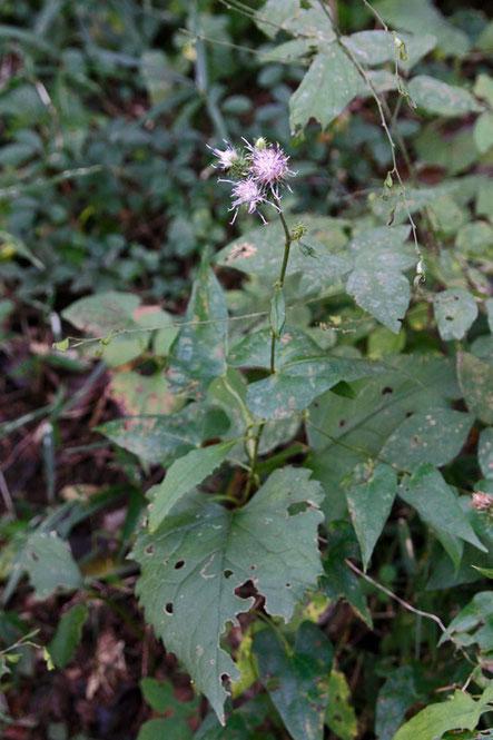 タカオヒゴタイ 時期はちょっと遅すぎて、ぎりぎりで花を見ることができました