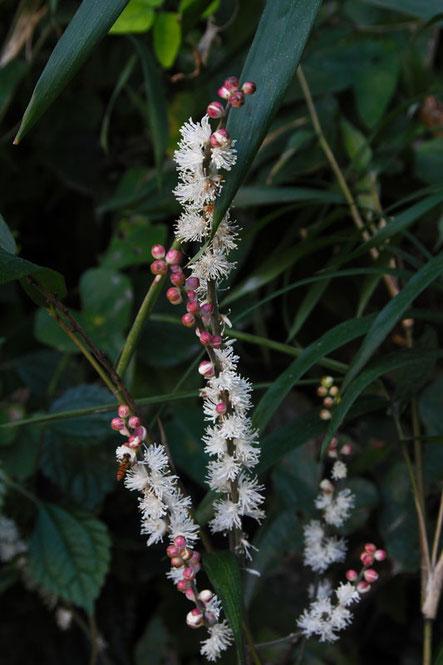 イヌショウマ (犬升麻) キンポウゲ科 サラシナショウマ属  蕾が淡紅色