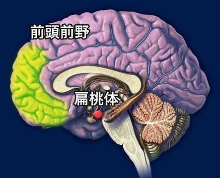 脳の偏桃体の興奮を前頭前野がコントロール
