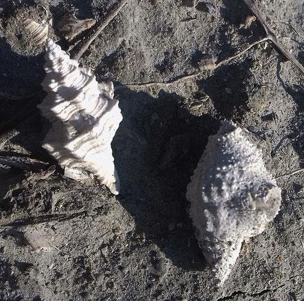 A sinistra, probabile Muricopsis cristata; a destra, un mollusco completamente incrostato da briozoi.