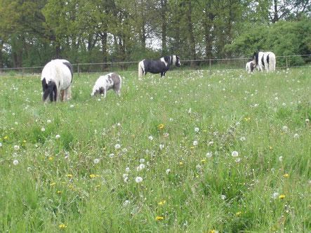 Weidehaltung von Stuten und Fohlen - anders hätte ich mir das nicht vorstellen können! Für die Fohlen war das eine wirklich tolle Zeit, aber unsere fette Wiese war selbst in der Zeit eigentlich zu viel des Guten.