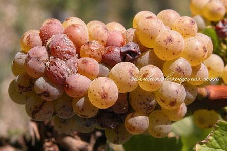 degustation-oenologique-vins-chenin-blanc-Vouvray-pétillant-moelleux-Touraine-Val-de-Loire-Amboise-Rendez-Vous-dans-les-Vignes-Myriam-Fouasse-Robert