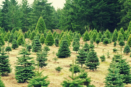 Tannenarten Weihnachtsbaum.Für Jeden Den Passenden Weihnachtsbaum Das Portal Für Roettgen Und