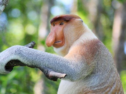 Bijzondere neusaap op Borneo