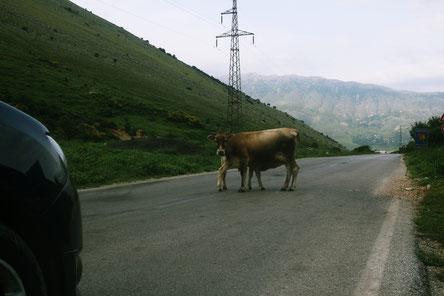 Kühe in den Bergen Albaniens