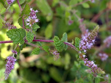 Mentha gattefossei - By Aka - Famille botanique : Lamiacée - Menthe endémique du Maroc