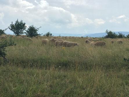 Schafbeweidung ist eine typische Nutzungsform im Grabfeld