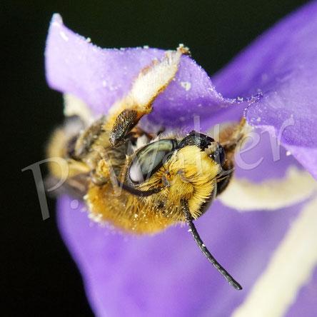 Bild: ein Männchen, wahrscheinlich der Garten-Blattschneiderbiene, Megachile willughbiella, an einer Pfirsichblättrigen Glockenbulme