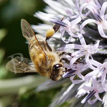 Bild: eine Honigbiene, Apis mellifera,  an der Kugeldistel