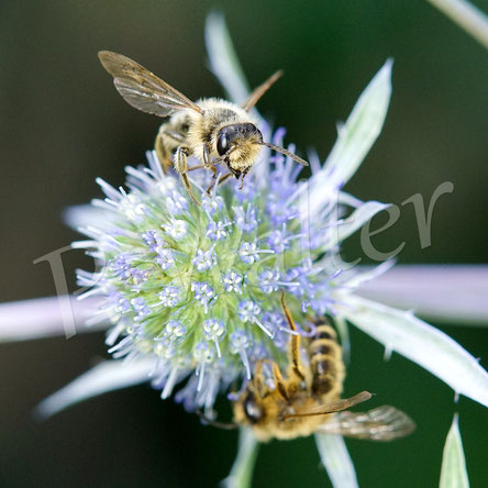 Bild: zwei Sandbienen(?)männchen an der blauen Kugeldistel