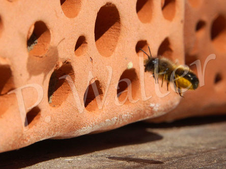 08.05.2016 : Diese Rostrote Mauerbiene legt ihre Nistkammern in den Gängen des Tonsteins an. Das Foto ist natürlich nicht toll, aber dafür sieht der Schatten links ziemlich witzig aus ...