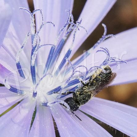Bild: Löcherbiene, Osmia truncorum, trinkt Nektar an einer Wegwarte