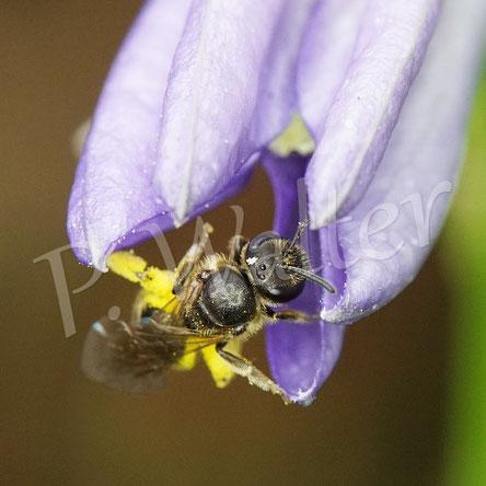 Bild: kleine weibliche Furchenbiene, Halictus spec., an einer Pfirsichblättrigen Glockenblume