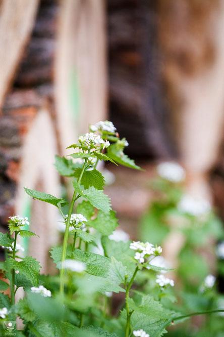 knoblauchsrauke alliaria petiolata | www.visovio.de | würzkraut heilkraut