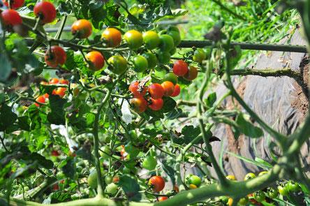 トマトの無農薬栽培を学ぶ@さとやま農学校・すどう農園