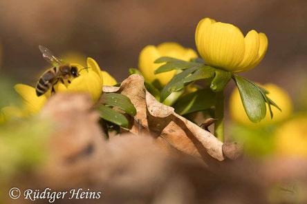 Biene sucht Nektar an Winterling (Eranthis hyemalis) - 22.2.2021