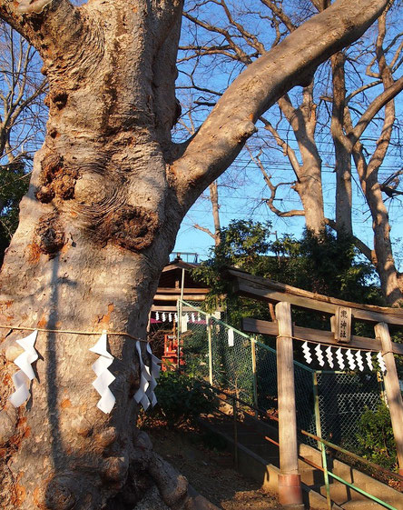 1月9日(2015) 瀧神社の大ケヤキ(府中市):瀧神社は、大國魂神社の末社で、くらやみ祭り(例大祭)の時に神人、神馬が滝の水で身を清めると由緒書きにある。大ケヤキは、樹高18m、幹周が4.3mとのこと。周辺にも巨木が林立している場所