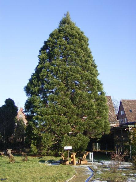 Mammutbaum Schildstein Lüneburg