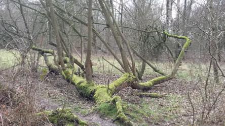 mgestürzter baum im urwald von morgen im NSG boberger niederung