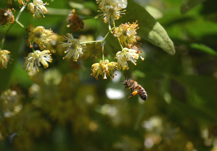 Biene bestäubt Pflanze