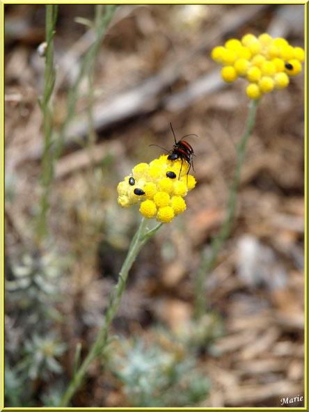 Petits insectes sur immortelles au massif de La Caume dans les Alpilles, Bouches du Rhône