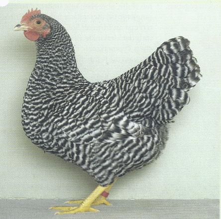 Hochprämierte Henne mit einer intensiven Streifungsanlage aus der Zucht  von A. Redecker, welche heutzutage eine Idee länger im Rücken sein könnte.