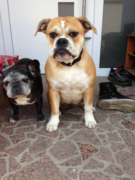 Continental Bulldog Welpe C & More mit Emelie